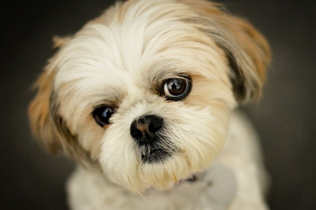 shih-tzu-breed-picture-1